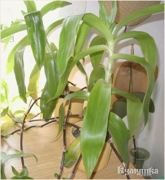 Золотой ус выращивание в домашних условиях 37